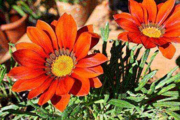 цветок гацания