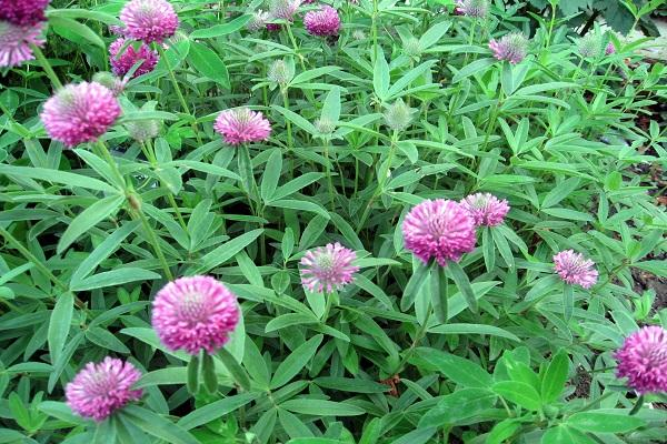 полуметровое растение