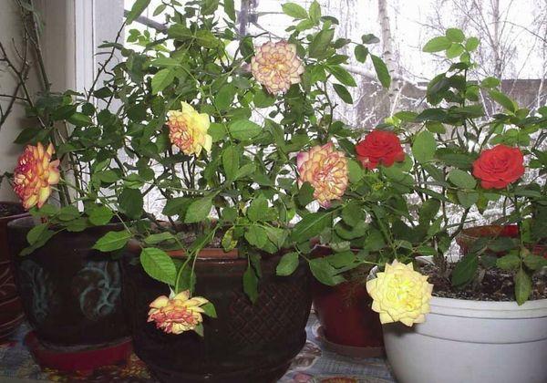 розы в вазонах