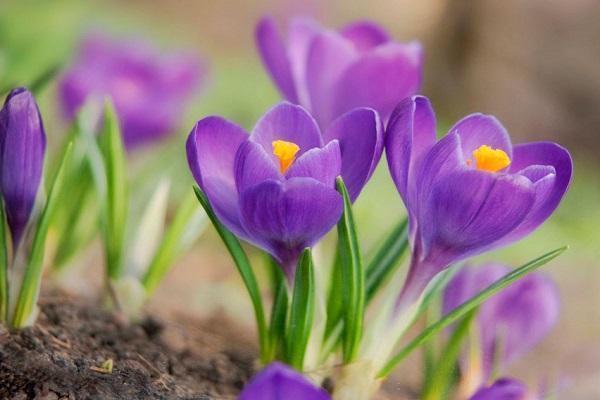 цветение садовых