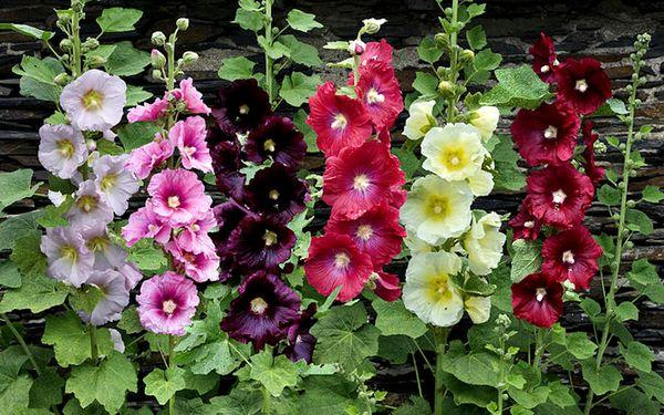 цветки мальва