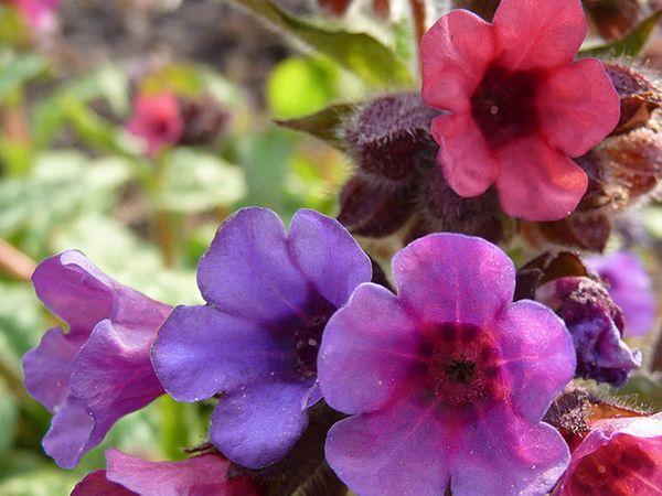 Цветки Пульмонарии