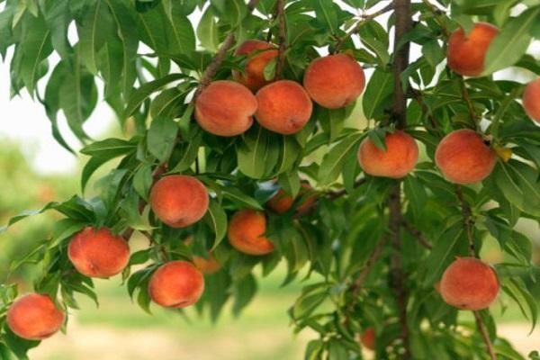 вырастить персик