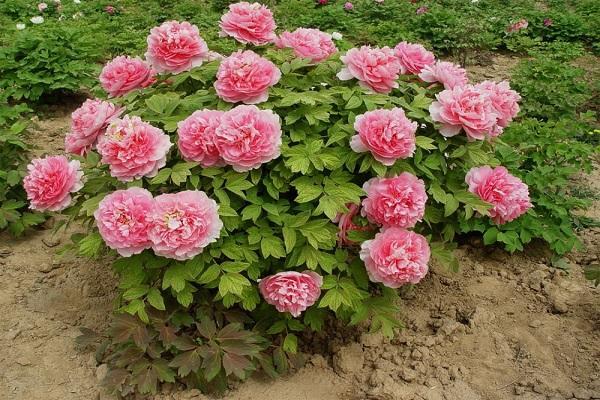 цветущие пиончики