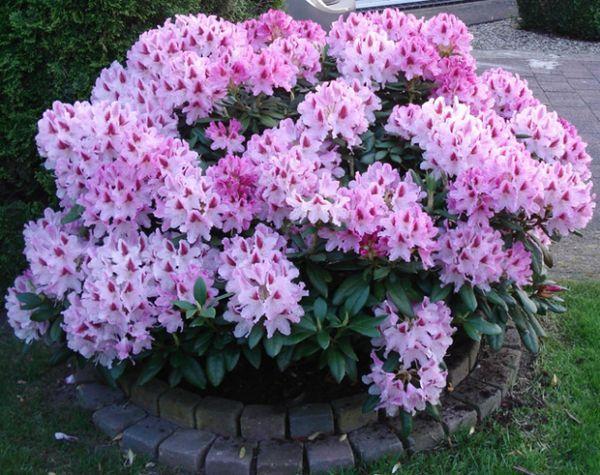 семена рододендроны