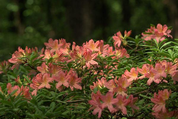 рододендрон якусиманский