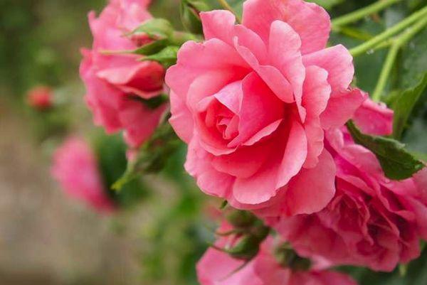 цветки розы
