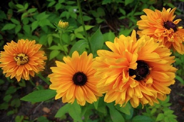 цветок голдилокс