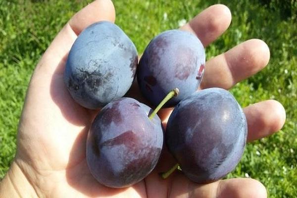 плоды фруктов