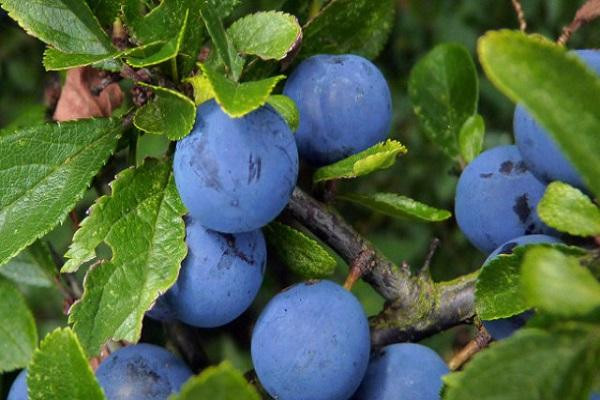 идеальные плоды
