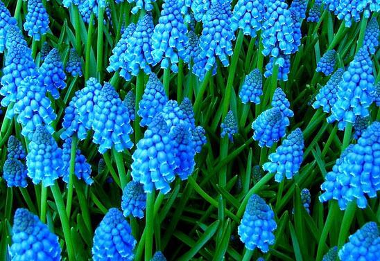 нежно голубой мускари