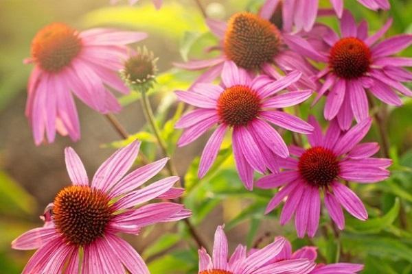 цветок эхинацеи