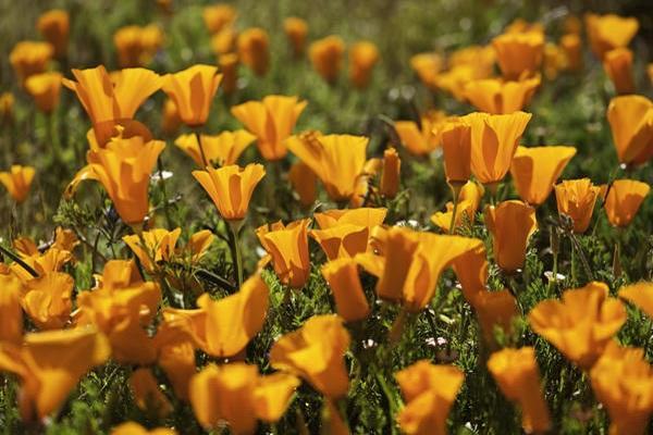 оранжевые бутончики