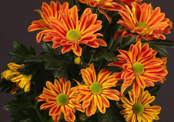 Голландские хризантемы