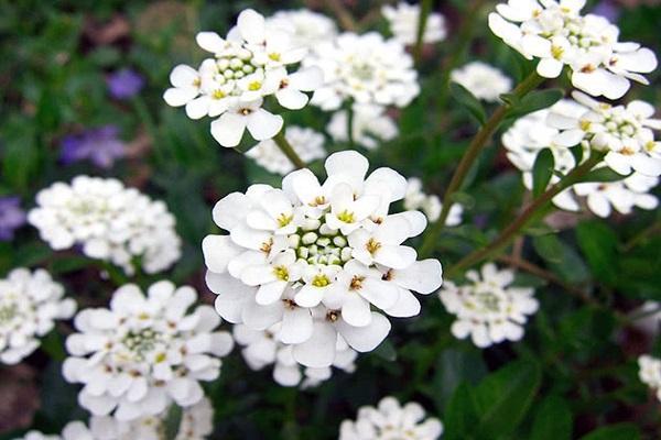 цветок иберис