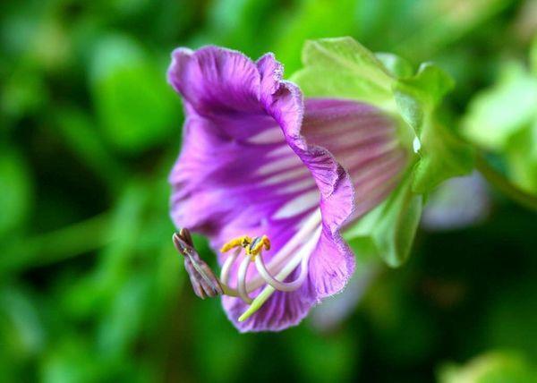 Фиолетовая кобея