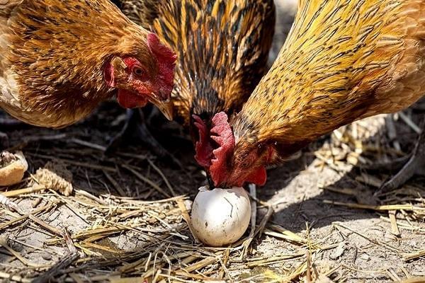 расклевывают яйца
