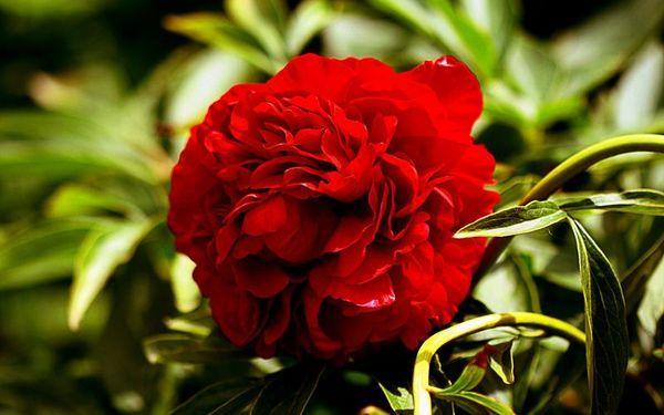 канадский цветок