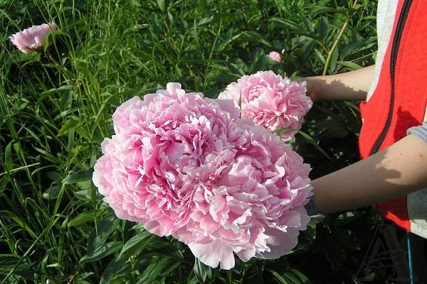 происхождения цветка