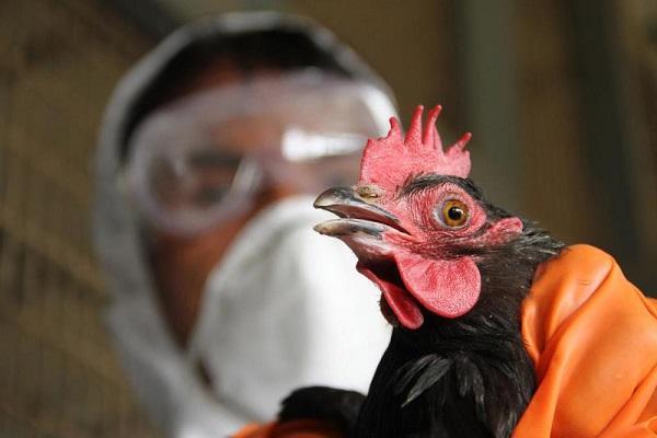 куриная чума