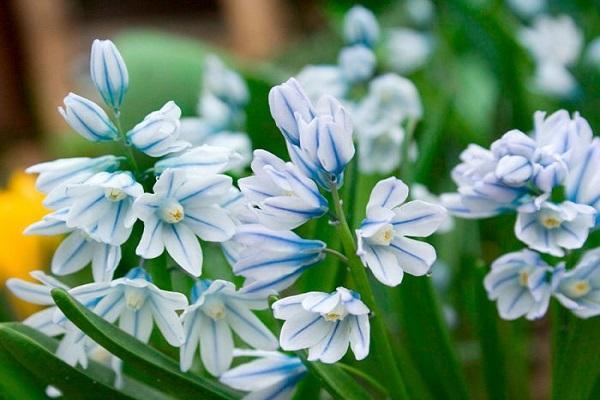 пушкиния цветет