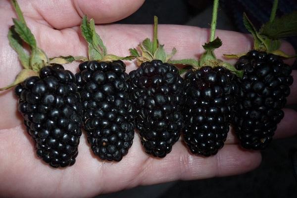 ягоды ежевики