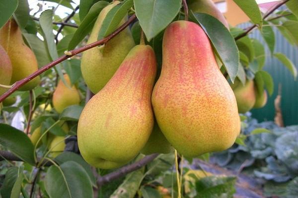 фруктовый плод