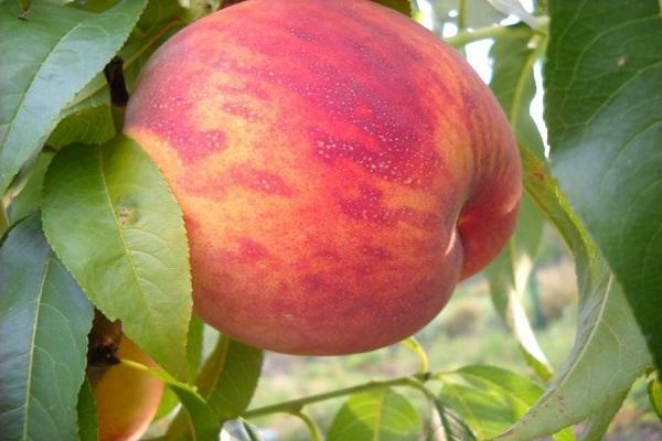 плод фрукта