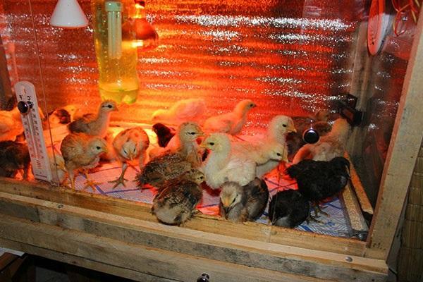 содержание цыплят