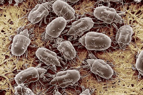 микроскопические клещи