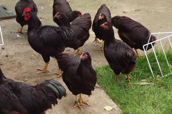 породистые птицы
