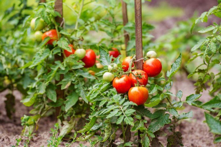 фунгициды для помидор