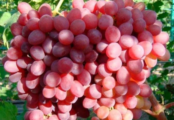 розмус виноград