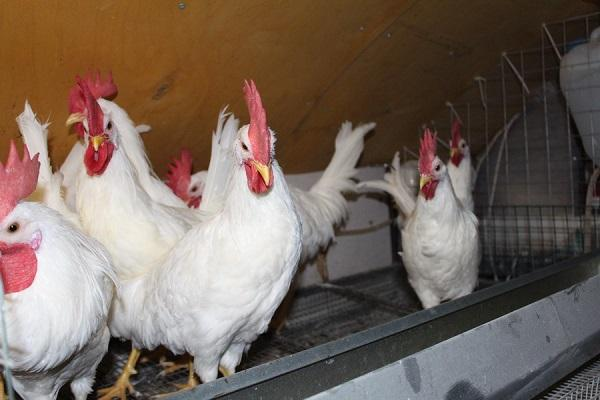птицы в курятнику