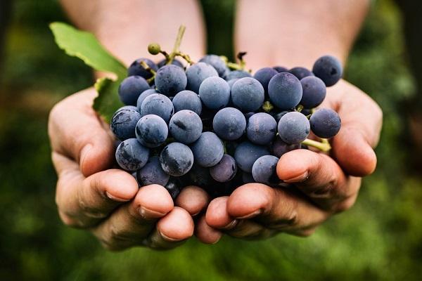в руках виноград