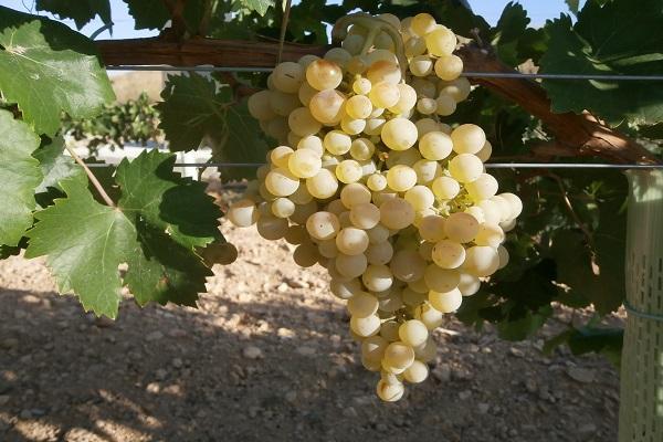 гроздь виноградная