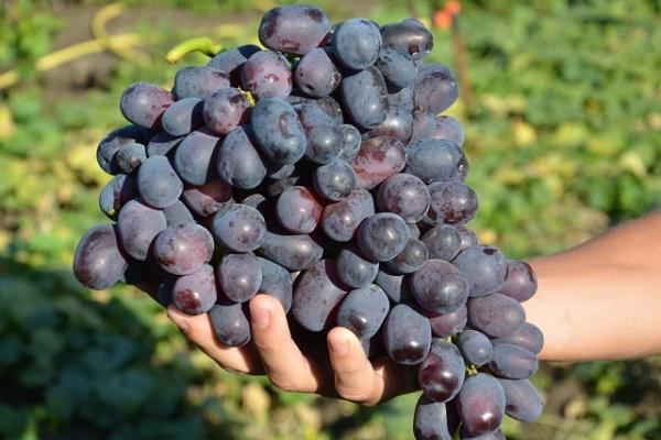 выбрать виноград