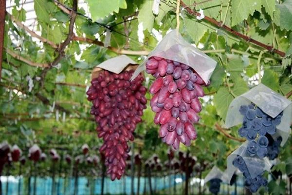 свисают гроздья