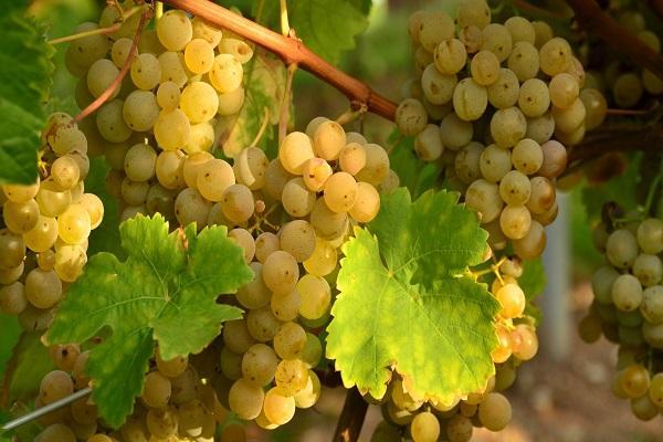 винограда Виура