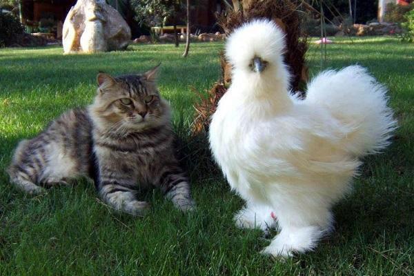 кот с курочкой