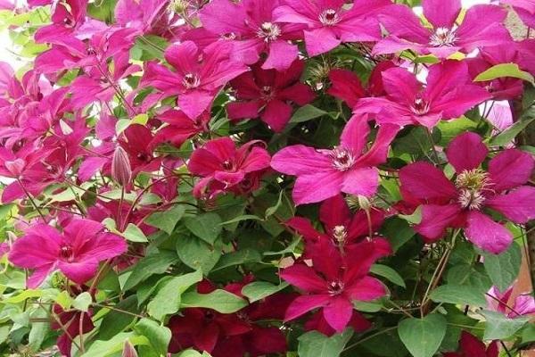 клематис цветочный