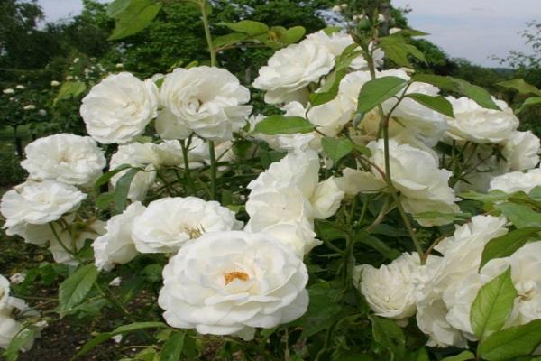 розы Айсберг