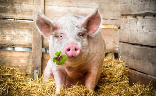 красивая свинка