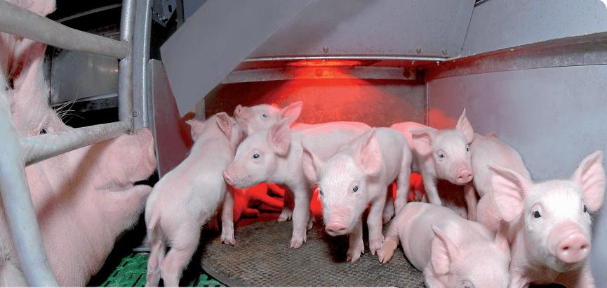 колибактериоз свиней