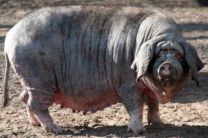 китайская свинья