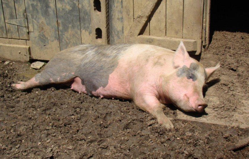 болезнь ауески свиней