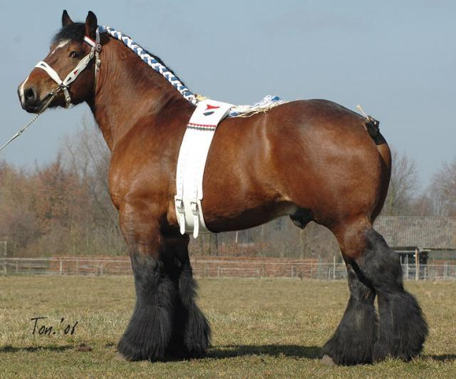 владимирский тяжеловоз порода лошадей