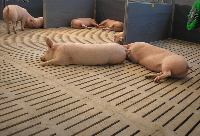 щелевые полы в свинарнику