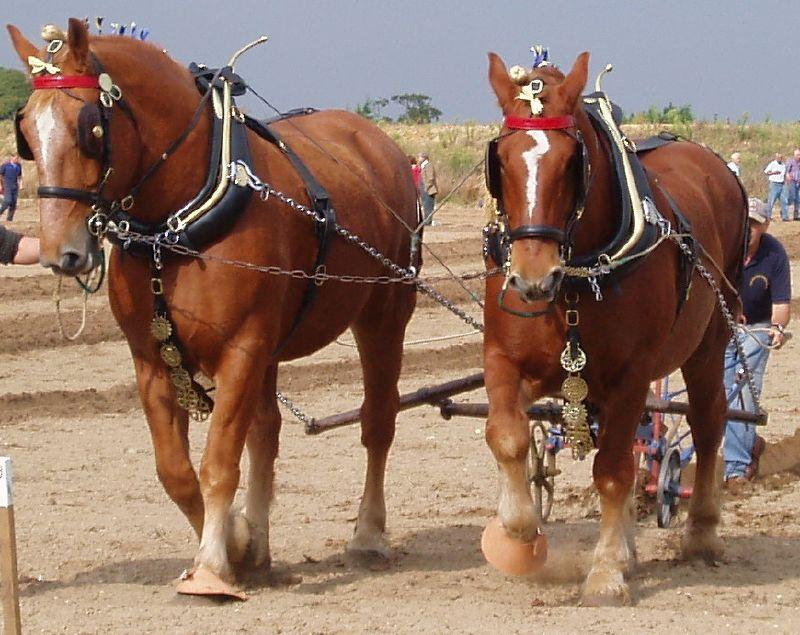 Суффолк лошадь