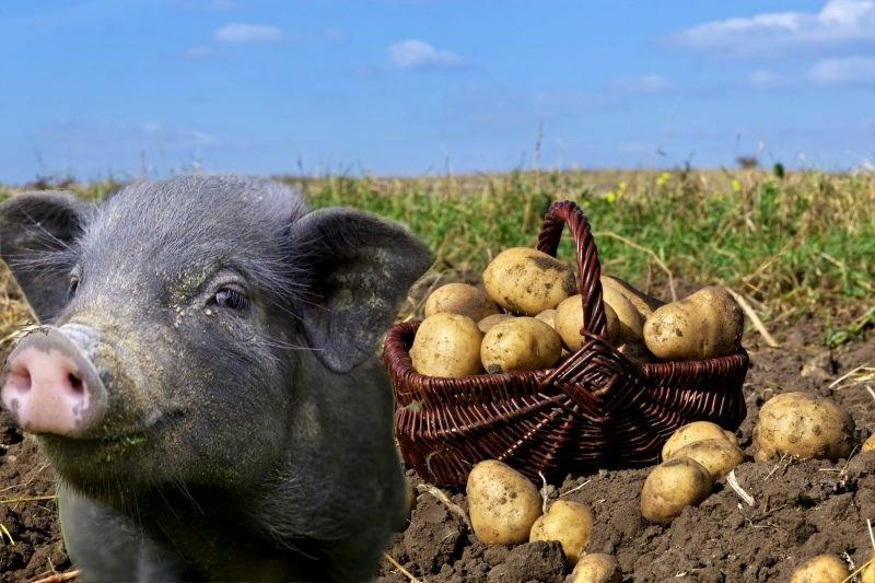 свинья и картошка